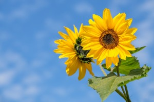 sunflower-4298808_1920